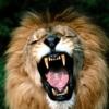 Lion956